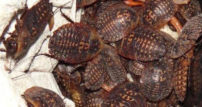 hromada švábů